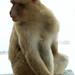 Gib046) Gibtraltarian Barbary Ape.JPEG