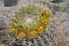 Ferocactus cylindraceus - California Barrel Cactus (DonCrain) Tags: anzaborregodesertstatepark wildflowers ferocactus
