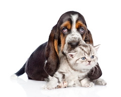 basset hound puppy embracing tiny kitten. isolated on white back (belblank) Tags: animal baby background basset breed care cat cub cuddle cute dog domestic embracing face family friendly friends friendship front funny group hound hug isolated kitten little love lying mammal newborn paw pedigree pedigreed pet pretty pup puppy purebred relations relationship small studio tabby tiny together two whelp white young lookingatcamera russianfederation