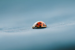 Orange and Blue (Inka56) Tags: macromondays orangeandblue ladybug blue bluebackground macro insect 7dwf fauna