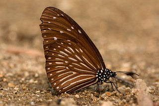Euploea mulciber - the Striped Blue Crow (female)