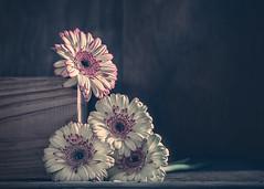 Gerberas (RoCafe on/off) Tags: gerberas stilllife flowers pinkandwhite nikkormicro105f28 nikond600