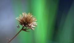 unkempt (Simon[L]) Tags: plumbago seedhead spikey dishevelled trioplan100mmf28 meyeroptik