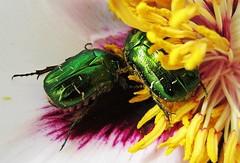 Le festin (nathaliedunaigre) Tags: macro insectes fleurs étamines colored coloré couleurs colors spring printemps pollen