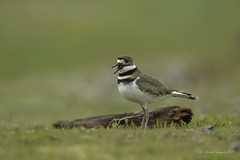 A Cry for help? (Chantal Jacques Photography) Tags: bokeh wildandfree cryforhelp depthoffield esquimaltlagoon killdeer