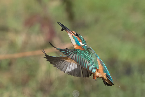 Kingfisher - male