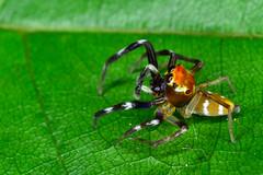 Salticidae (aracnologo) Tags: amazonbiome amazonia amazônia amazonforest amazon arachnida arachnid aracnídeo aranha araneae araña spider spinnen salticidae