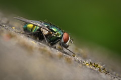 Green is Beautiful - HFDF! (Stefan Zwi.) Tags: macro fly insect insekt animal tier beautiful 105mm f28 sigma sony a7 ilce7 emount farbe fauna closeup nature background beauty green grün commongreenbottlefly luciliasericata goldfliege hfdf ngc npc