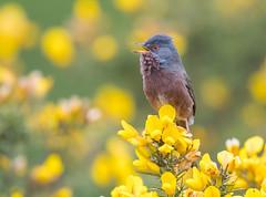 Dartford Warbler  15-04-2017-7866 (seandarcy2) Tags: warbler dartford thursley heath surrey uk