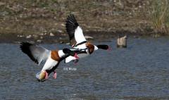 Shelducks in flight (ftm599) Tags: pair wetlands wwt lake nikon nature wildlife actionphotography wildlifephotography naturephotography wild flying action bif birds bird ducks shelducks shelduck