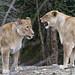 Argument between lionesses!