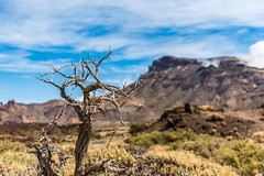 tree (Lichtbildidealisten.) Tags: 2016 teneriffa new light blue holiday landscape tenerife canaryislands teide