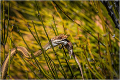 Lizard lunch (Rattleep) Tags: animal canyonlandsnationalpark lizard needlesdistrict osterreise2015 snake usa utah sdphotographie2015 animalplanet