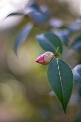 camellia bud (Sabinche) Tags: bud camellia plant bokeh hbw spring