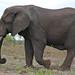 African Elephant (Loxodonta africana) single-tusked bull ...