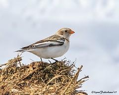 snowbunting1 (lfalterbauer) Tags: snowbunting outdoor avian 7dmarkii canon nature wildlife photography birding birdwatcher artic newhope