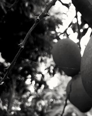 Here comes the season of mango...  just love it #black_n_white #monochrome # brokhe  #india #landsacpe #photography #flicker #trave #nature #mangi #fruits #natgeo #facebook #instagram #love #fruits #covershot #food #culture #nikon #samsung #photoshop #sna (navo7301501578) Tags: nikon snapseed monochrome kharagpur natgeo culture facebook flicker favourite nature instagram blacknwhite photoshop covershot landsacpe prembazar fruits photography sky street love mangi samsung food trave 3april camera india flim people