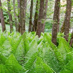 Fern - Fuji 160NS (magnus.joensson) Tags: sweden swedish skåne sträntemölla österlen fern green spring intimate landscape hasselblad 500cm zeiss planar 100 cf fuji pro 160ns c41