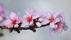 pretty peach blossoms (dorameulman) Tags: spring spring2017 peach peachblossoms floral flowers beautiful dorameulman gastonia northcarolina us landscape canon canon7dmark11 macro outdoor flower plant garden blossom haiku poem