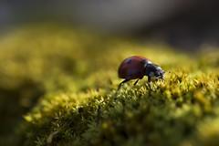 La coccinelle et le sous-bois (Doriane Boilly Photographie Nature) Tags: macro insecte coccinelle sous bois faune flore nature bête rouge vert mousse
