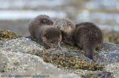 Sleepy Otter Cubs (Alastair Marsh Photography) Tags: otter otters ottercub ottercubs sleep sleeping baby babymammal mammal mammals britishwildlife britishanimals britishanimal britishmammals britishmammal animal animals wildlife scotland scottishwildlife scottishmammals scottishmammal isleofmull mull isle island islands fur sea loch water ocean seaweed