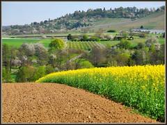 Blühendes Remstal (almresi1) Tags: raps spring frühling stetten weinstadt acker felder fields weinberg