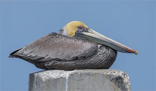 Pelican #-1 ( Explored on 4-1-2017 )