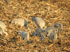 Sandhill Cranes (MissLydia) Tags: birding wastate march nature easternwashington columbianationalwildliferefuge spring othello birds sandhillcranes