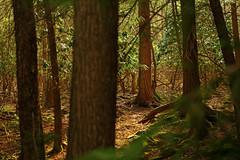 High Falls: Hemlocks (Shahid Durrani) Tags: high falls monongahela national forest cheat river west virginia