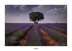 Brihuega... (Canconio59) Tags: brihuega guadalajara españa spain lavanda campos field lavander nubes clouds cielo sky arbol tree flores flowers