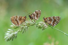 Teamgespräch :-) (rudolfaurnhammer) Tags: natur tiere insekten falter schmetterlinge tagfalter scheckenfalter wachtelweizenscheckenfalter makro