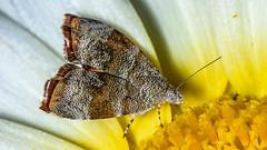 The Triangle... (chandra.nitin) Tags: animal deerpark insect macro moth nature id newdelhi delhi india anthophilafabriciana choreutidae