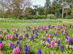 2017.03.26.013 PARIS - Parc de Bagatelle - Jacinthes (alainmichot93 (Bonjour à tous - Hello everyone)) Tags: 2017 france îledefrance seine paris paris16èmearrondissement boisdeboulogne parcdebagatelle fleur flora flower jacinthes