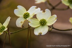 Wild Dogwood (T i s d a l e) Tags: tisdale wilddogwood blooms spring march 2017 easternnc