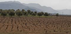 Vinyes i oliveres (peretorres1) Tags: vinyes oliveres emporda olympus lanscape paisaje