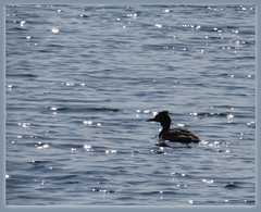 9326 Sparkles of sunlight and silhouette (Andy - Busyyyyyyyyy) Tags: 20170407 bbb ggg greatcrestedgrebe grebe lagoon lll picasaborder podicepschristatus silhouette sparkles sss water waterbird www