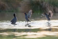 Foulque macroule et Gallinule poule d'eau (Tifaeris) Tags: commonmoorhen eurasiancoot foulquemacroule fulicaatra gallinulachloropus gallinulepouledeau gruiformes rallidés bird oiseau