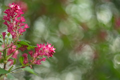 Flowering Currant (Stefan Zwi.) Tags: blume flower sony a7 ilce7 emount farbe flora closeup macro nature helios442 blutjohannisbeere zierjohannisbeere ribessanguineum ngc npc