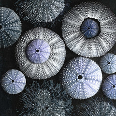 Urchin Blues (marianna_a.) Tags: urchin sean sea ocean pattern texture macro composite group family blue mauve marianna armata collection shell