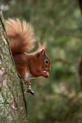 Red Squirrel (Sybalan,) Tags: morayshire forest coastal sunny scotland seashore squirrel spring water wildlife woodland watersea outdoor