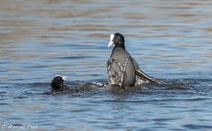 Biesbosch - Coot stay away from me (CapMarcel) Tags: biesbosch goose geese duck canadian nikon d500 500mm