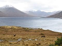 8607 Stags beside Loch Quoich reservoir (Andy - Busyyyyyyyyy) Tags: 20170319 ccc clouds ddd ggg glen glenquoich lake lll loch lochcuiach lochquoich misty mmm mountains murky qqq reddeer reservoir rrr scotland sss stag water www