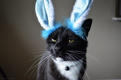 """The yearly """"embarrassment"""" (Captions by Nica... Back on June 5) Tags: easter bunny ears cat catmoments catportrait catseyes pet portrait feline animal indoor toby holiday"""