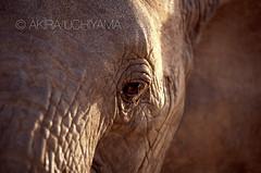 ZOO0147-2 (Akira Uchiyama) Tags: 動物たちのいろいろ 目 目ゾウアフリカゾウ