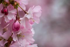 Pink blossom (Infomastern) Tags: alnarp blom blossom pink rosa spring vår exif:model=canoneos760d geocountry camera:make=canon exif:isospeed=100 camera:model=canoneos760d exif:lens=ef100mmf28lmacroisusm geostate exif:focallength=100mm exif:aperture=ƒ40 geocity geolocation exif:make=canon