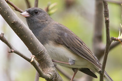Dark-Eyed Junco 4-15-2017-6 (Scott Alan McClurg) Tags: animal back backyard bird branch darkeyed darkeyedjunco forest junco life light nature naturephotography neighborhood perch perching portrait songbird spring suburbs tree wild wildlife woods yard
