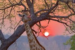 Chobe Sunrise (José Rambaud) Tags: jirafa giraffe sunrise sun sunlight arbol amanecer tree chobe botswana africa animal animals wild wildlife salvaje nature naturaleza natura natureza