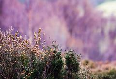 So wonderful (creyala) Tags: april tuesday walk nice bokeh beautiful beauty scottish scotland flowers orange nikond7000 d7000 nikon lightroom green pink purple colors heather nature