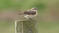 Wheatear- (Mick Lowe) Tags: bird post spring migrant wheatear oenanthe