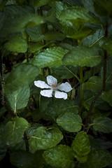 Mint Blackberry (Kelushan (Joshua Davis)) Tags: kelushanphotographyjoshuadavis outdoors nature mint blackberry flow green leaves plants garden